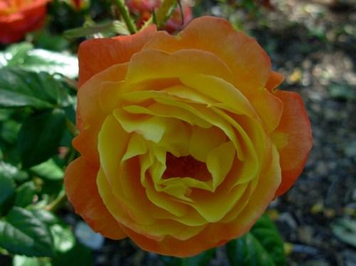 rosesunset