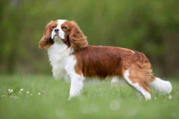 Cute Lovable Couple Wallpapers Cavalier King Charles Spaniel