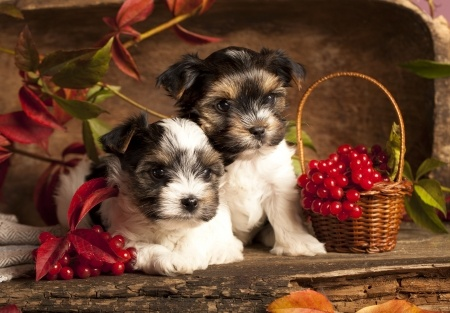 Cute Dog Christmas Pics Wallpaper Biewer Terrier Breed Information Small Dog Place