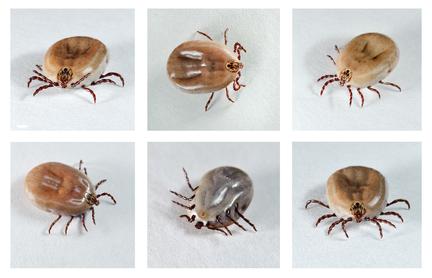 Dog Ticks Should you be Concerned?