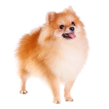 Very Small Fluffy Dog Breeds