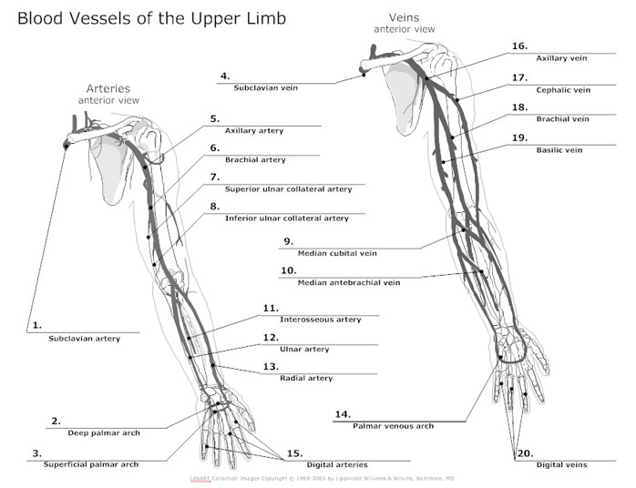 diagram of arteries throughout body