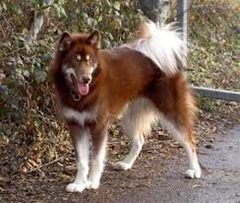 5.canadian eskimo dog