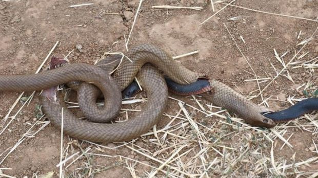 The mysterious image of two dead snakes on a roadside near Griffith in southern NSW.