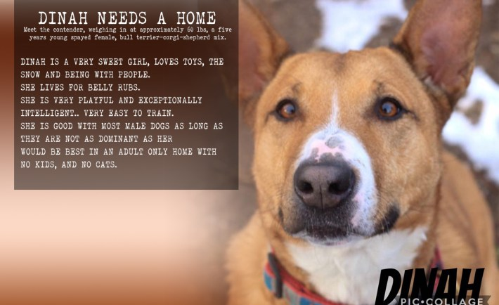 Dinah Needs a home Smithtown animal shelt