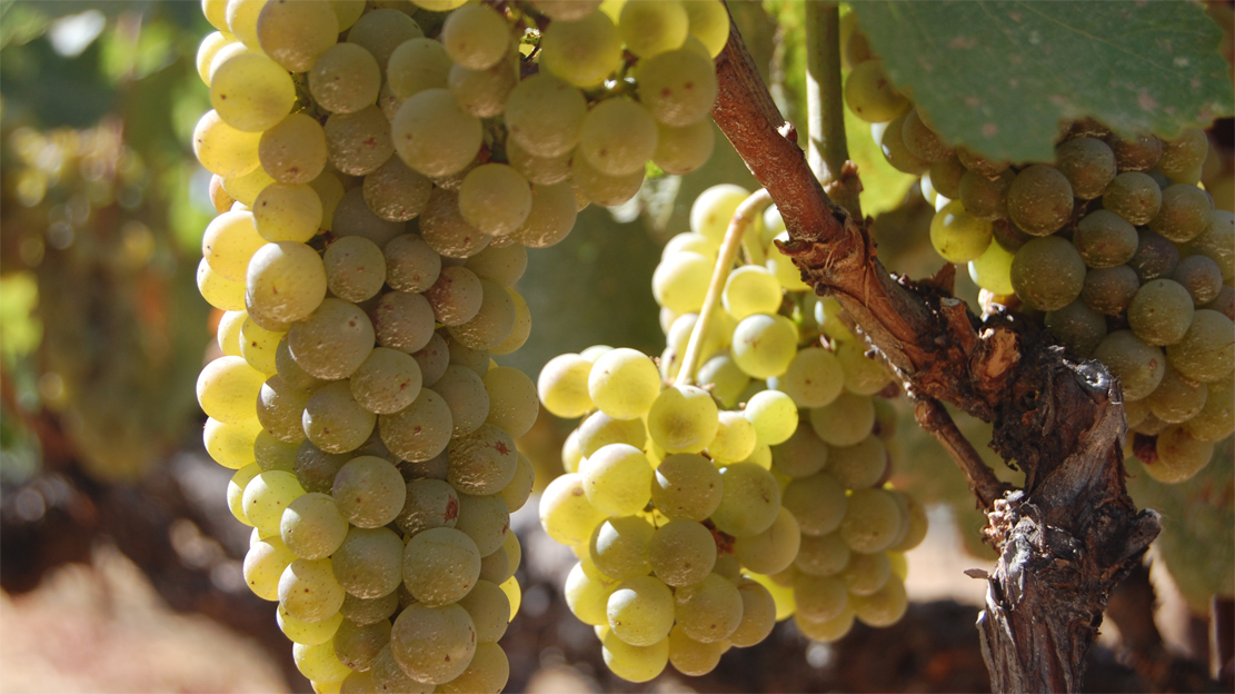 chardonnay-grapes-sm