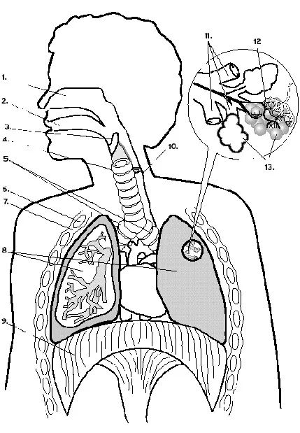 diagram of the lungs