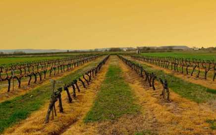 Vineyrads in Rioja before sunset