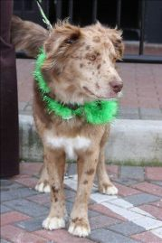 smyrna-st-patricks-day-festival-dog-friendly