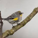 286 Yellow-rumped warbler sRGB