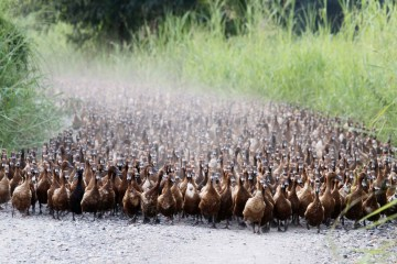 A flock of ducks walk near a paddy field in Nakhonsawan province, north of Bangkok July 13, 2012.  REUTERS/Chaiwat Subprasom (THAILAND - Tags: ANIMALS) ORG XMIT: NAK203