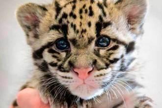 tigre-bebe