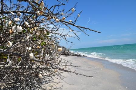 Shell Tree at Stump Pass Beach State Park, Florida