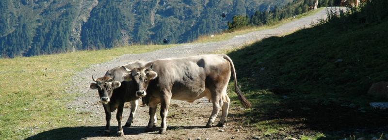 Hiking in Tyrol: Determined cows in Oetztal.