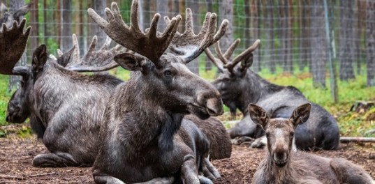 what-do-you-call-a-group-of-moose