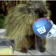 Teddy el puercoespín, predice el ganador del Super Bowl XLVI
