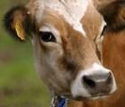 Argentina clona vaca que da leche materna
