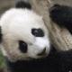 Los pandas podrían ser el futuro de los antibióticos