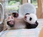 Awwww Ternuringaaaa!!!! El pandita bebé te saluda!!!