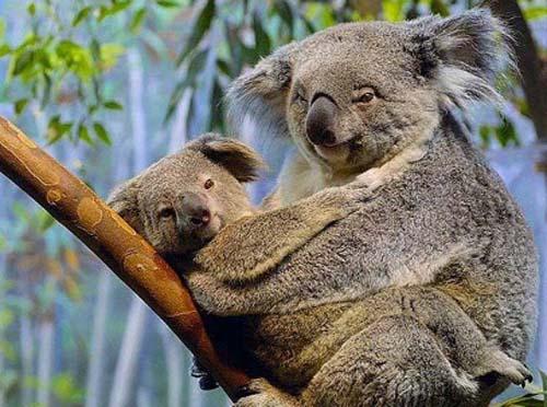 ad_koala_empiernado_