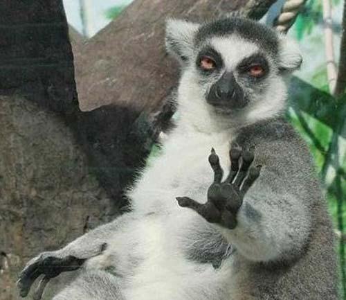 ad_lemur_