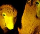 En Uruguay clonan unas ovejas... ¿fluorecentes?