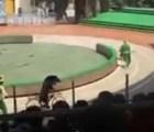 Un acto circense con dos monos y un oso, termina en tragedia