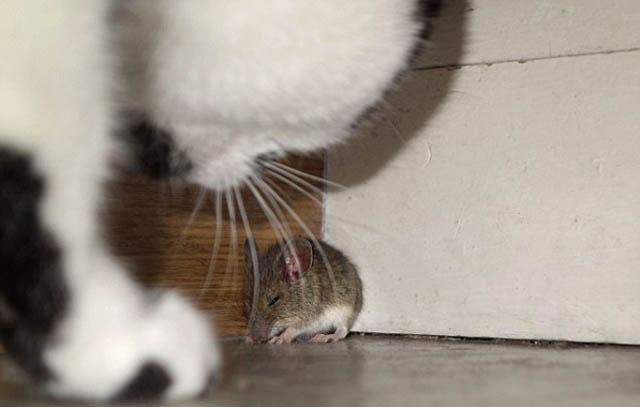 raton_vs_gato_8