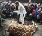 Chechenia quiere adoptar a la otra jirafa que sacrificarán en Dinamarca
