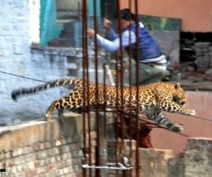 leopardo_india_1