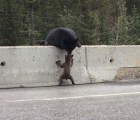La mamá oso que salvó a su hijo de la carretera
