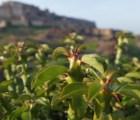 El desierto de Rajastán, ¿amenazado por una planta mexicana?
