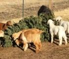 Las cabras que comen… ¿árboles de Navidad?