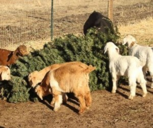 ap_goats_eat_christmas_trees_1_wy_141225_16x9_992