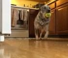 Por esto los perros no deben de jugar dentro de la casa