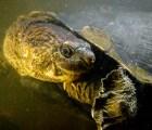 A punto de la extinción la tortuga que respira por el trasero