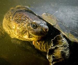 elseya-albagula.southern-snapping-turtle.els-albagula-bt02