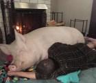 Pensaron que era un cerdo enano pero adoptaron 300 kilos de ternura