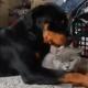 Este rottweiler quiere demasiado a su gatito