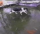 Este gato confundido intenta cazar peces en el hielo