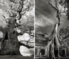 Galería: Impresionantes árboles milenarios de Beth Moon