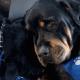 La triste despedida de un perro Rottweiler y su hermano