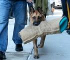 La nostálgica despedida de un perro policía