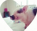 Los cerdos miniatura podrán interactuar en una cafetería