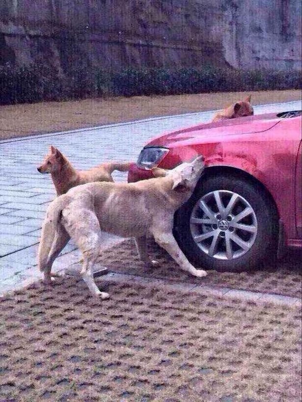 Stray-dog-attacks-car (1)