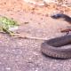 El duelo a muerte entre un camaleón y una serpiente