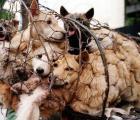 Festival de carne de perro causa indignación #StopYuLin2015