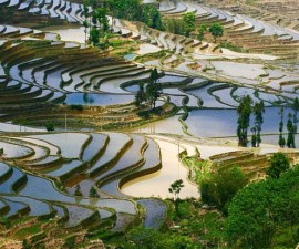 campo_arroz_chino_4