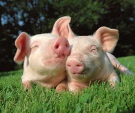 cerdos felices1