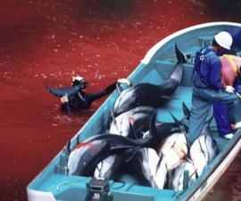 dolphin_slaughter_taiji_japan_the_cove_brooke_mcdonald_19
